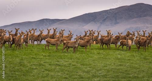 Fotografie, Obraz  Group of wild Reindeer standing on hill in New Zealand