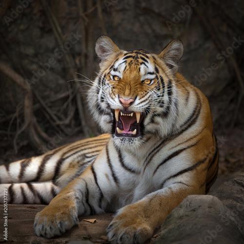 Angry tiger,Sumatran tiger (Panthera tigris sumatrae) beautiful animal and his portrait Wall mural