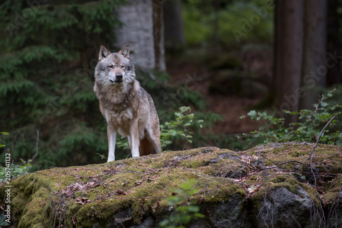 Naklejki wilk  wolf-is-standing-on-the-rock-in-bayerischer-wald-national-park-germany