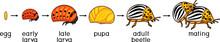 Life Cycle Of Colorado Potato ...