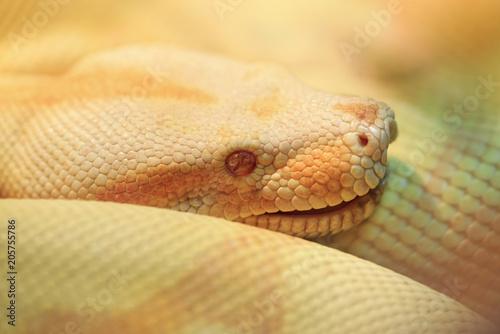 Fotografie, Obraz  Albino Indian python