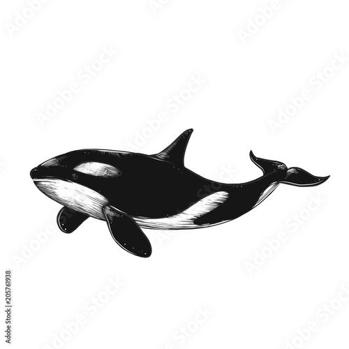 Fototapeta Hand drawn vector killer whale