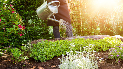 Unrecognisable woman watering flower bed using watering can. Gardening hobby concept. Flower garden image with lens flare.