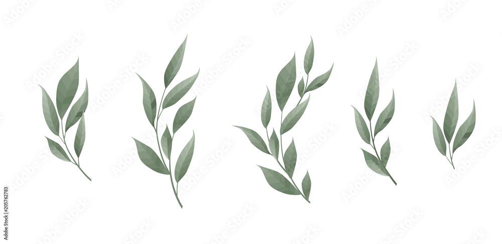 Fototapeta Vector set. Bay leaf. Green leaves on white background. Vector illustration.