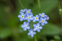 Pale Blue Myosotis Sylvatica In Bloom, Group Of Small Tiny Flowering Flowers