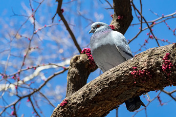 Big fat pigeon standing on a tree branch in New York City