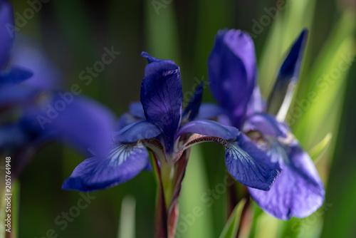 In de dag Iris 菖蒲の花