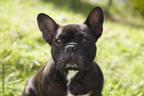 Deurstickers Franse bulldog Французский бульдог на траве
