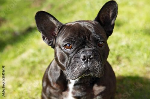 Staande foto Franse bulldog Французский бульдог на природе