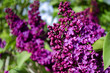 the lilac bushes in the summer