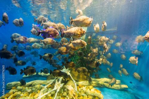 piranha fish swim around human skeleton in big aquarium Canvas-taulu