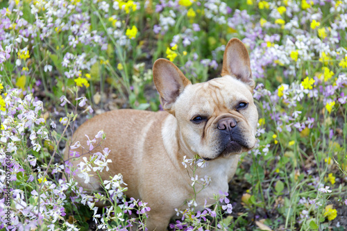 Foto op Plexiglas Franse bulldog French Bulldog in Bloom in Northern California. Frenchie sitting in a meadow full of wildflowers in Pescadero, San Mateo County, California, USA.