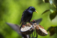 Mature Adult Starling (Sturnus Vulgaris ) Preparing To Feed Its Young Some Garden Bird Food From A Cocounut Shell