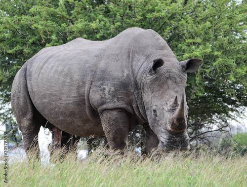 Fotografie, Obraz  Sir Rhino