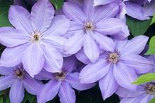 Lila Clematis Flowers In Garden Macro