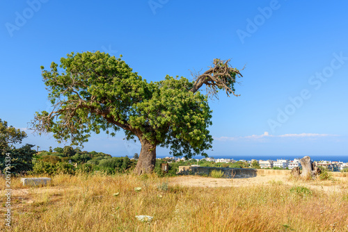 Foto op Plexiglas Olijfboom Olive tree, spring scene in sunny day on Rhodes island, Greece
