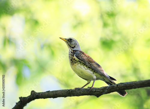 Fototapeta portrait of a bird thrush sitting on a branch in a spring park