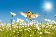 Blaumeise Fliegt über Leuchtend Bunte Margeriten Blumenwiese Unter Einem Perfekten Blauen Himmel Im Warmen Sonnenlicht