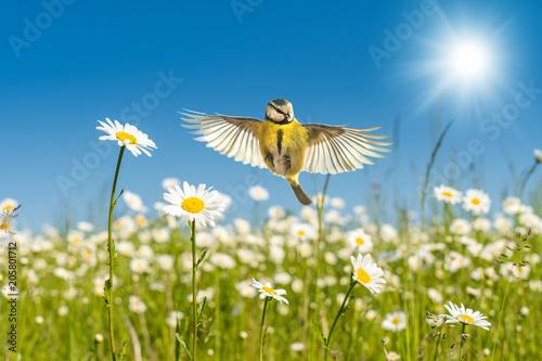 Naklejka premium Błękitny tit lata nad jaskrawy kolorowymi stokrotkami Kwiat łąka pod perfect niebieskim niebem w ciepłym świetle słonecznym