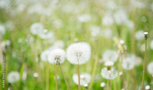 Blurred nature spring background with white fluffy dandelion flowers blurred nature spring background with white fluffy dandelion flowers mightylinksfo
