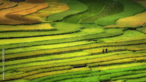 Tu le / Vietnam - September 14 ,2017 : Farmer walk in Rice terrace during harvest season in Vietnam