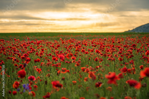 Deurstickers Klaprozen Poppy field at sunset.