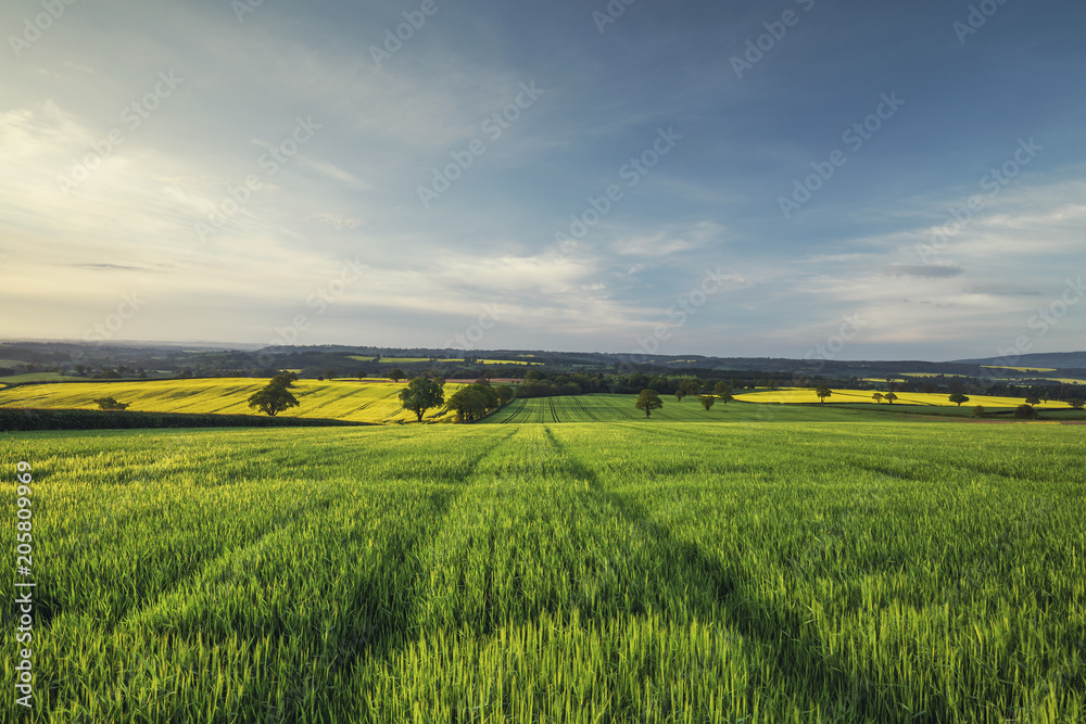 Fototapety, obrazy: Sunrise Light over Green Wheat Field at Spring