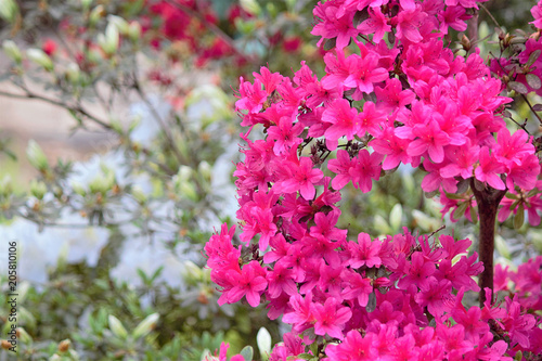 Foto op Plexiglas Roze Hello Spring. Azalea (Latin Azalea), one of the most beautiful species of flowering plants of the genus Rhododendron (Rhododendron). Close-up.
