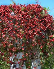 Bignonia Capreolata Variety At...