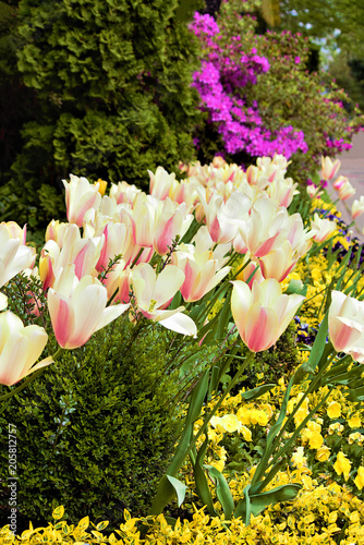 Papiers peints Azalea Hello Spring. Tulip (Latin thulium), one of the most beautiful species of flowering plants. Viola or pansies (Italian viola) - background. In the background is the Azalea of the genus Rhododendron.