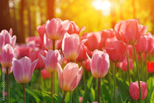 Group of colorful tulip. red, pink, purple flower tulip lit by sunlight. Soft selective focus, tulip close up, toning. Bright colorful tulip photo background