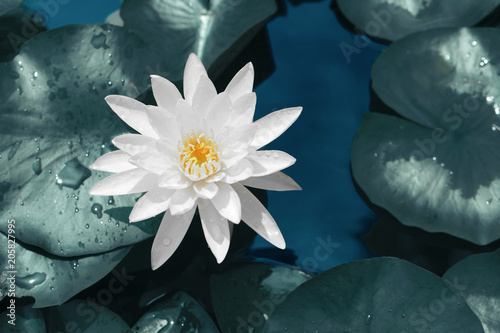 Foto  Beautiful of white lotus flower against on bule water and green leaves