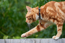 Ginger Red Tabby Cat Walking On Top Of A Wooden Fence With An Out Of Focus Green Background