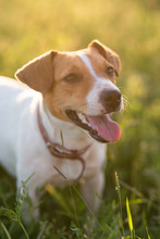Dog Jack Russell Terrier Playing On Nature