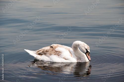 Foto op Plexiglas Zwaan Single swan lives in the pond