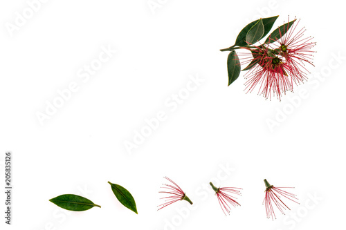 Fotografie, Tablou  pohutukawa tree flowers and leaves on white background with copy space