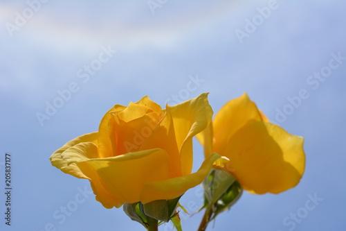 2018年5月21日「小満」のハロー現象と黄色いバラ、日暈、立夏から数えて15日目、空 Canvas Print