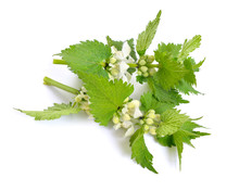 Lamium Album, Commonly Called White Nettle Or White Dead-nettle. Isolated