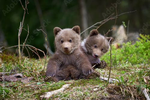 Wild brown bear cub closeup Wallpaper Mural