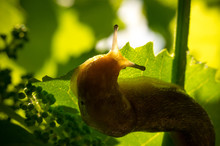 Garden Slug In A Sunny Vineyard. Large Gastropod