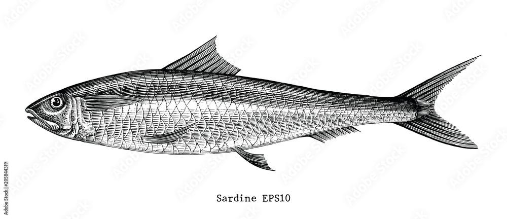Fototapeta Sardine fish hand drawing vintage engraving illustration