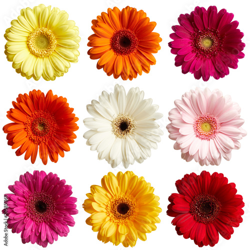Fotografie, Obraz Set of gerbera flowers isolated on white background