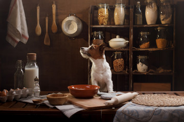 a small dog is preparing pancakes in the kitchen. A pet cook. Jack Russell Terrier