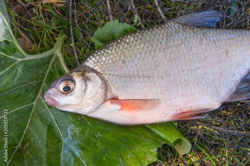 Fotobehang View of freshwater silver bream or white brem fish on black fishing net and fishing rod with reel. .