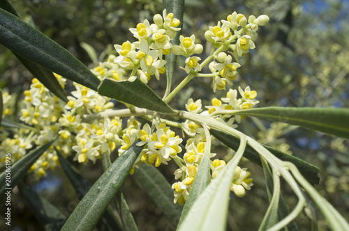 Olive tree in bloom.Closeup