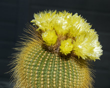 Unusual And Beautiful Yellow Flowering Ball Cactus Parodia Leninghausii In Full Bloom