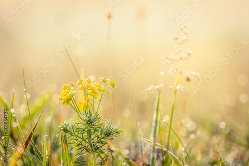 Papiers peints Pres, Marais Summer meadow, green grass field and wildflowers in warm sunlight, nature background concept, soft focus, warm pastel tones.
