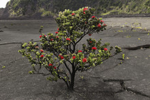 Red Ohia Lehua Tree Bush, Big ...
