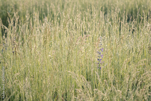 Foto op Aluminium Platteland Summer meadow, green grass field and wildflowers in warm sunlight, nature background concept, soft focus, warm pastel tones.