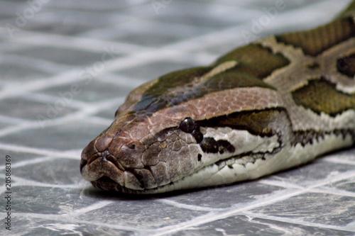 Fotografie, Obraz  tiger python in the zoo